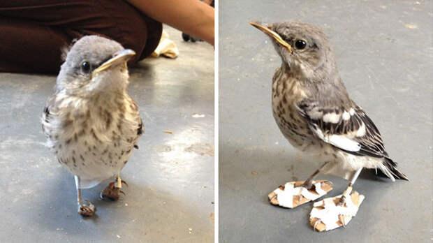 """Изобретательный спаситель сделал """"лыжи"""" для раненой птички, которые позволили ей вновь встать на ноги Счастливый конец, животные, спасение"""