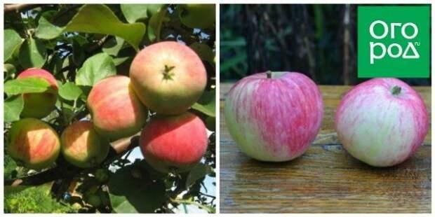 яблоки башкирский красавец