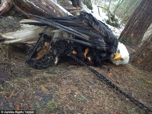 Девушку едва не посадили за то, что она спасла орла из охотничьего капкана