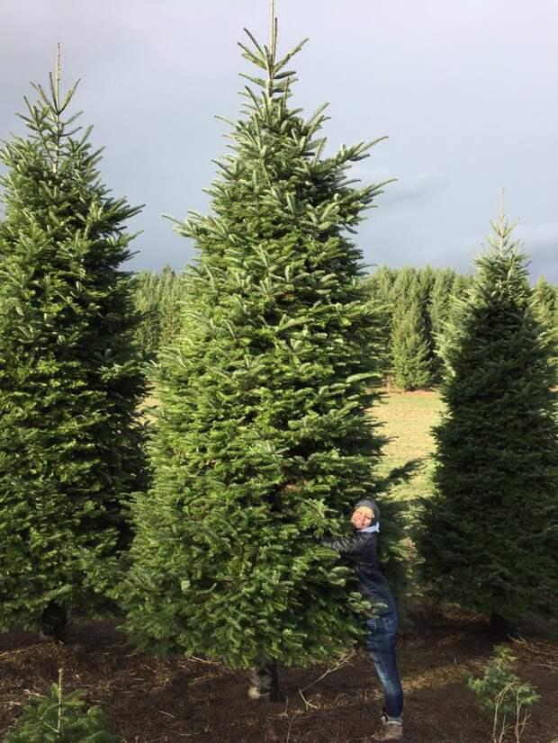 Вот эта 6-метровая красавица  гениально, елка