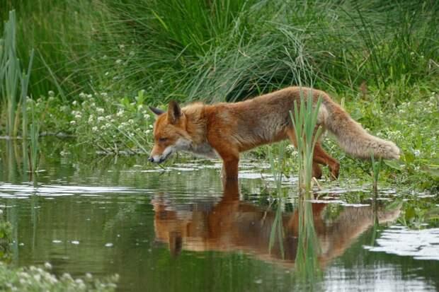 Марфино облюбовали лисы
