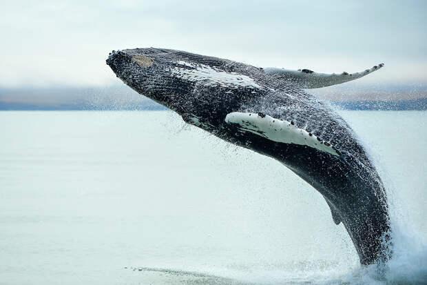 Коронавирус спас тысячи китов в Исландии