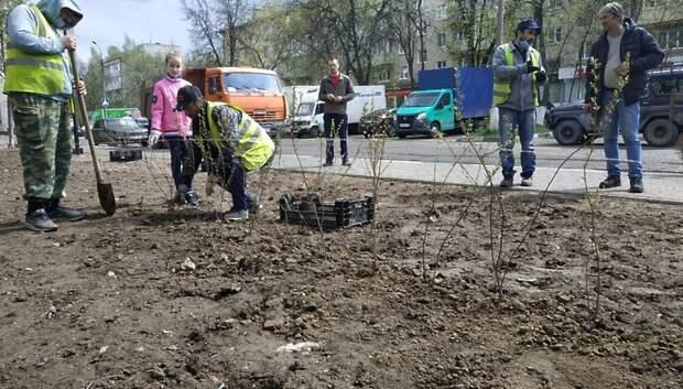 Кусты блестящего кизильника высадили вдоль нового тротуара в Климовске