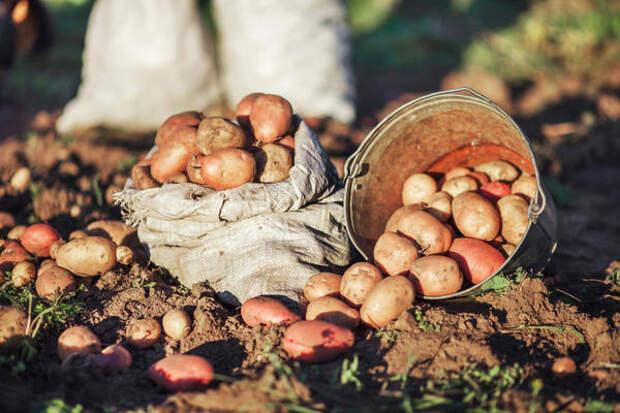 Красивый здоровый картофель без фитофторы