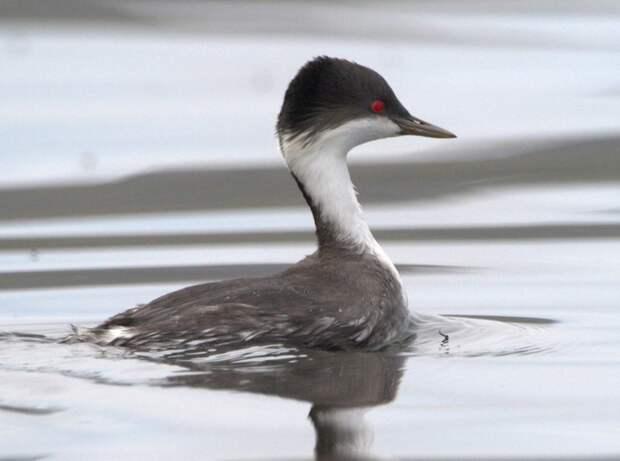Поганка Тачановского птицы, уникальная живность, факты, фауна