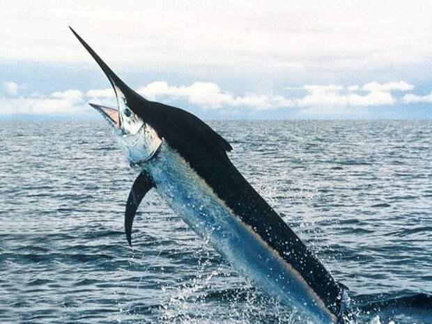 Рыба-меч.