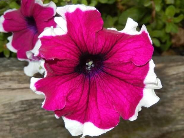 Отличительная черта петуний пикоти — белая кайма по краю лепестков