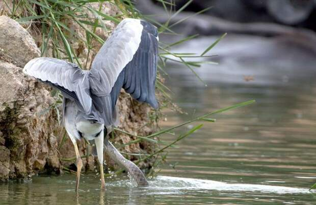 Как цапля и змея делили рыбу (9 фото)