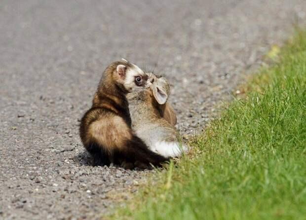Хорёк без проблем способен охотиться на животных, которые в несколько раз крупнее его самого. Что уж говорить про соразмерную добычу — это для него лёгкая закуска.