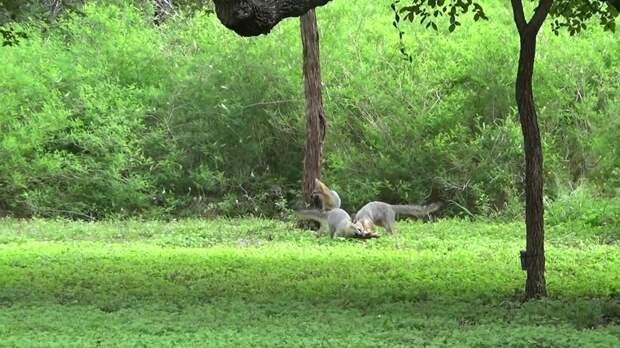 Видео: «Летающие» лисы — невероятно, но серые лисы умеют лазать по деревьям
