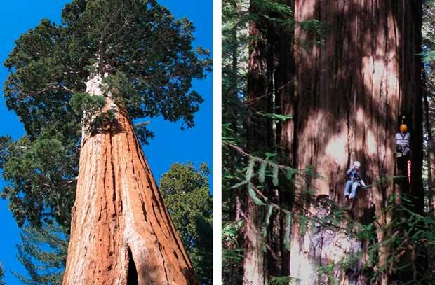 Дерево Гиперион (справа) — 115,61 м. Обнаружено 25 августа 2006 года натуралистами Крисом Аткинсом и Майклом Тейлором. Дерево Гелиос (слева) — 114,58 м. Самое высокое в мире с 1 июня 2006 года до 25 августа 2006 года. На фотографии Ричард Престон и его до