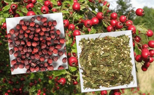 Что приготовить из сухих ягод, цветков и листьев боярышника