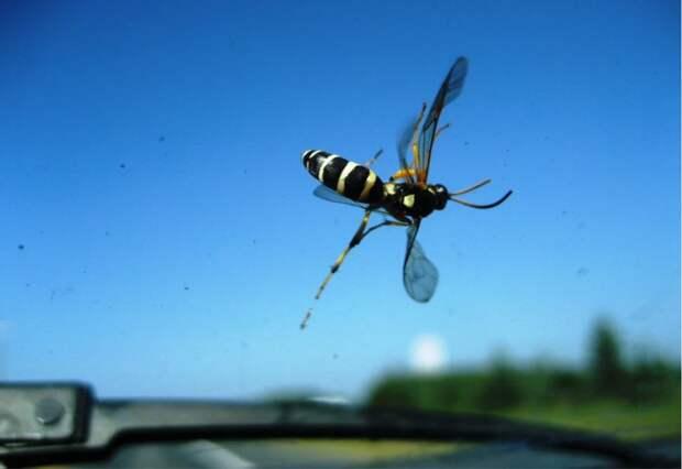 Насекомые на лобовом стекле могут показаться автомобилистам неприятностью. На самом деле их количество указывает на начало процесса дефаунизации Земли. Фото: Leogirly4life / Flickr