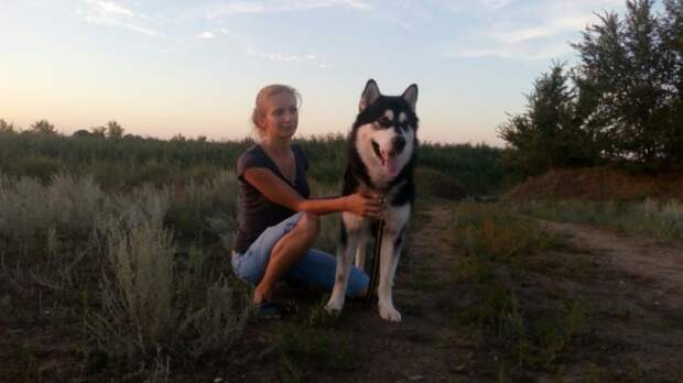 Пса стоимостью более 70 000 рублей сдали в приют аляскинский маламут, маламут, собака