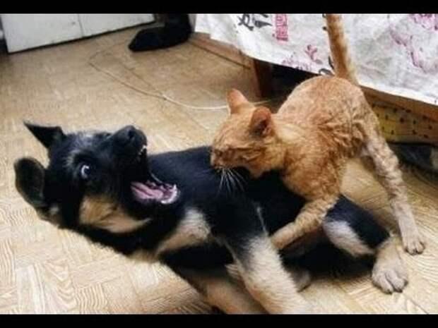 Смешное знакомство собаки с кошкой