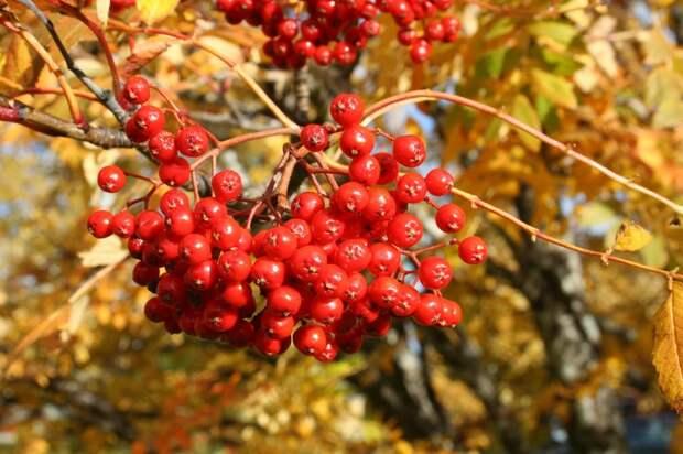 В округе высадят яблони, рябины и березы/pixabay.com