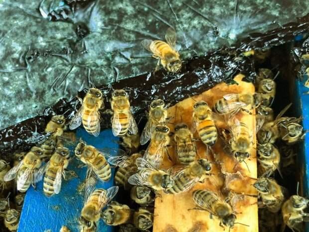 Медоносных пчел рекомендуют подкармливать цианобактериями