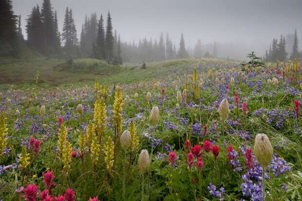 Альпийские летние цветы в национальном парке Маунт-Рейнир в США