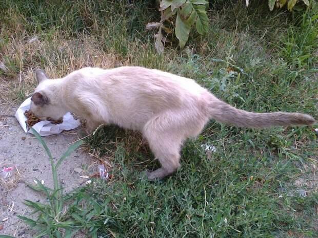 Исхудавшая кошка бегала за прохожими, беззвучно открывая рот кот, кошка, порода, приют, тайская кошка