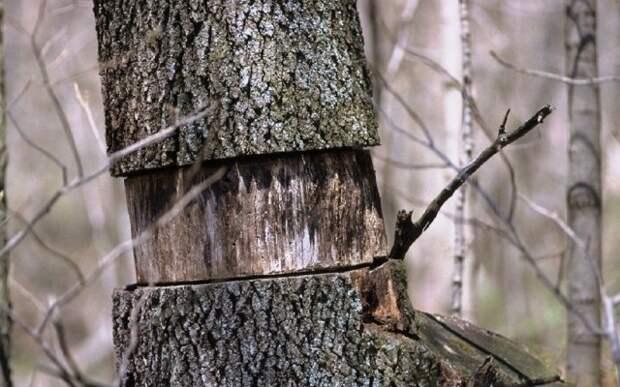 Кольцевание деревьев