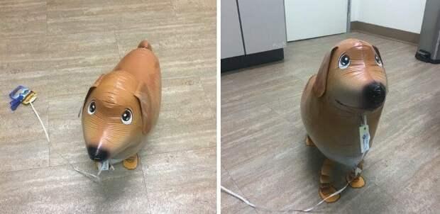 25. Это Барнаби. Надувная собачка, которая работает в больнице для астматиков/аллергиков. Ее очень любят детки, которым нельзя завести настоящую собаку. 14/10 животные, оценка, популярный, собака, собаки, соцсети, твиттер, юмор