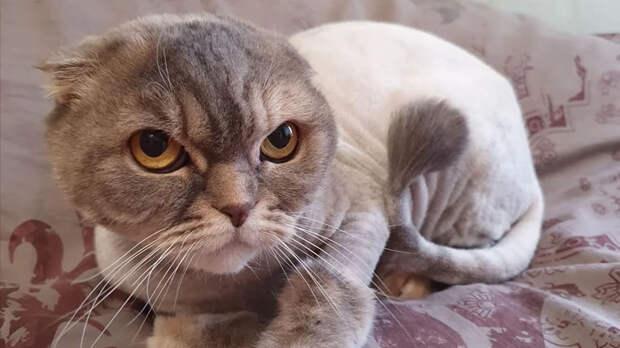 Большинство кошек негативно относится к стрижке