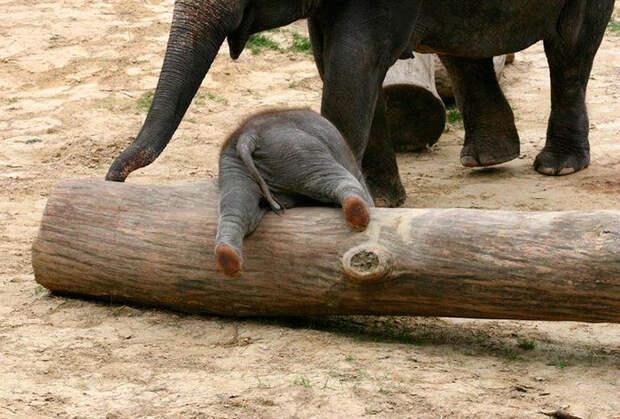 30 маленьких слонят, которые жить без приключений не хотят