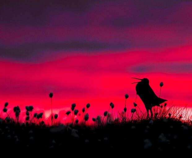 18. Силуэт дупеля. Торстен Грин-Петерсен красивые фотографии, лучшие фото, орнитология, победители конкурса, птица, птицы, фотографии птиц, фотоконкурс