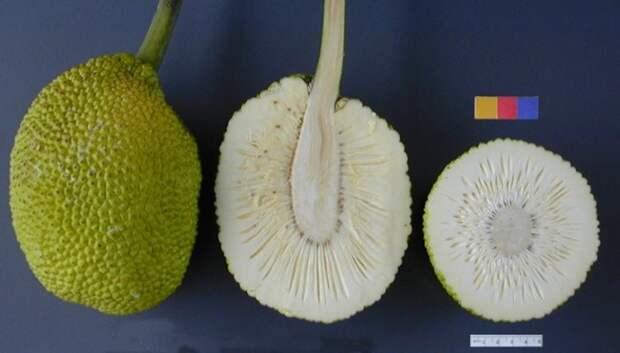 Хлебное дерево еда, фрукты, экзотика