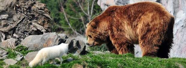 Если к медведю подкрался песец!
