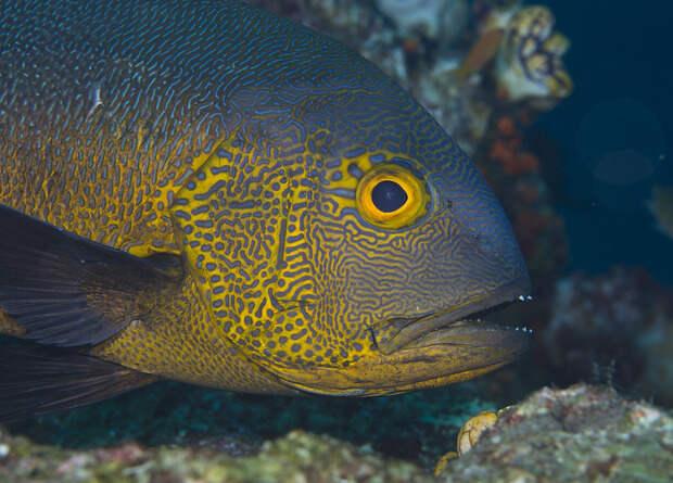 Пятнистый маколор дожил до 81 года. Это рекорд для тропических рифовых рыб