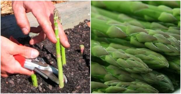 Как посадить спаржу и наслаждаться урожаем годы