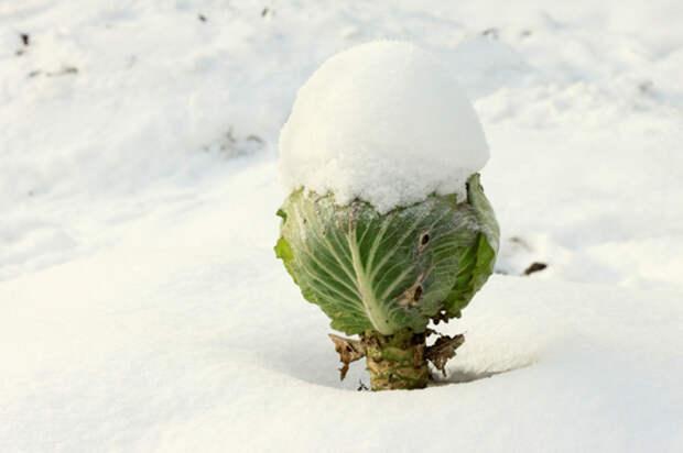 Что делать, если подмерзла белокочанная капуста