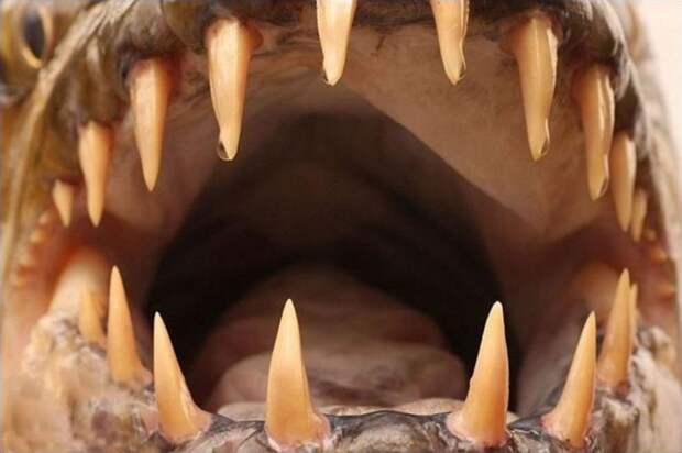 Водный монстр изАфрики— тигровая рыба Голиаф