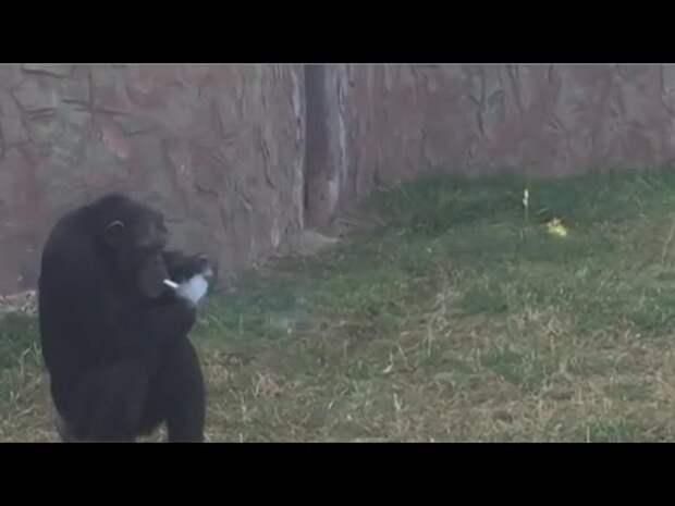 Новая звезда в зоопарке в Пхеньяне — самка шимпанзе, которая не может жить без сигарет