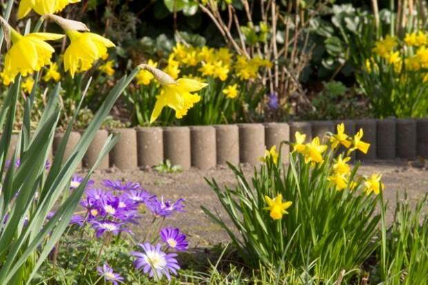 daffodils and anemones in the garden