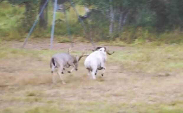 Гони меня олень, в свою страну оленью! баран, видео, животные, олень, прикол, сша, техас