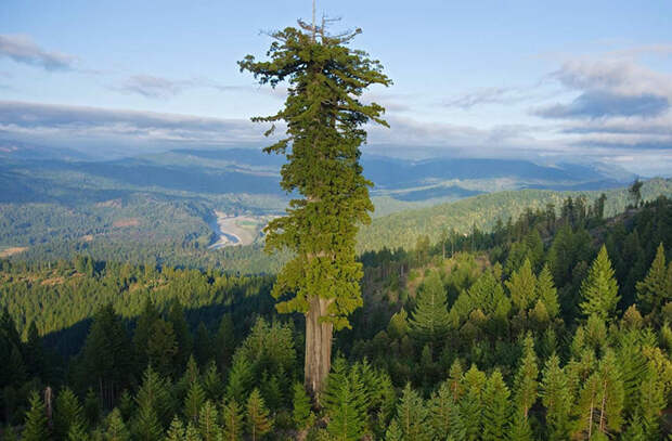 Секвойя: дерево-вождь
