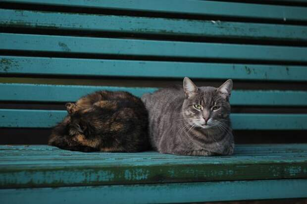 Коты, Лавочка, Кот, Кошка, Парк, Голубой