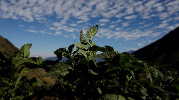 ERR: картошка вместо цветов — центр Тарту украсила овощная клумба