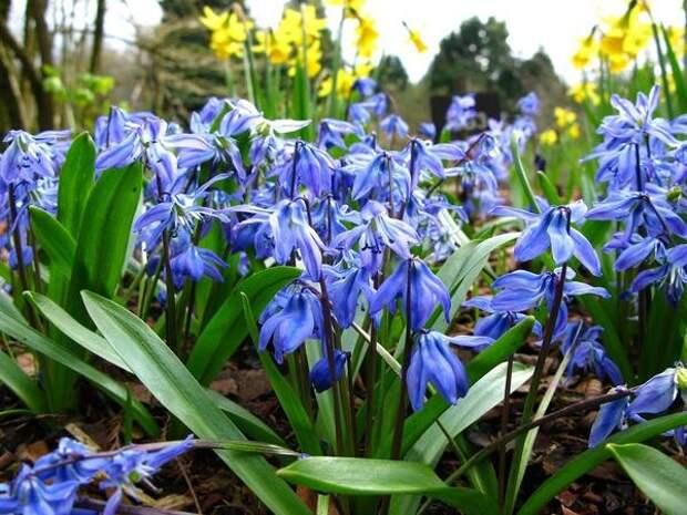 Пролеска сибирская сорт Spring Beauty. Фото с сайта Panoramio