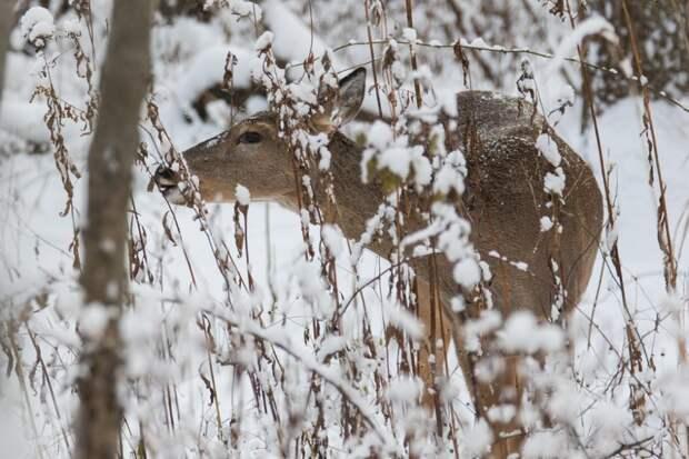 Белохвостый олень