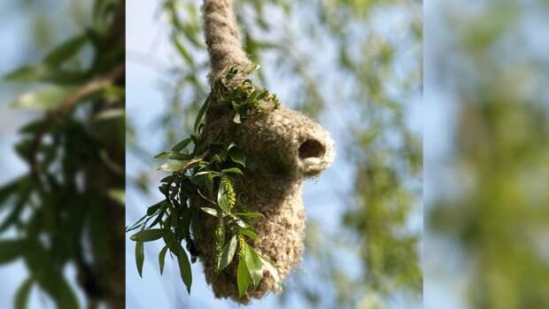 «Варежки» на деревьях Петербурга оказались гнездами редких птиц