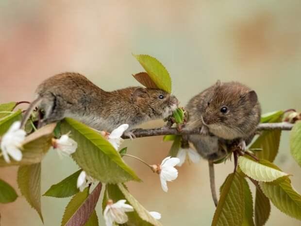 Мыши на яблоне