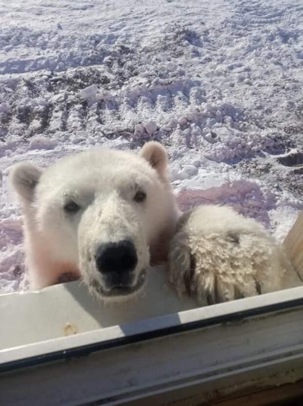 Красноярские вахтовики передали зоопарку спасенного белого медвежонка