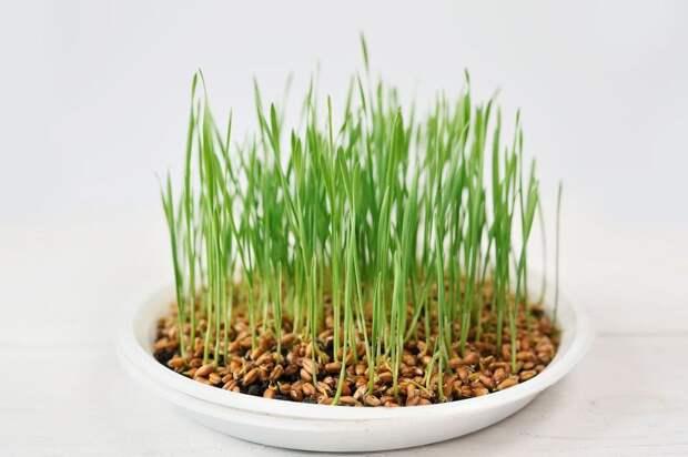 Из ростков пшеницы можно приготовить полезные блюда.