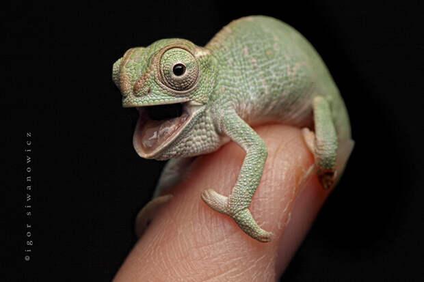 cute-baby-chameleons-582b7ea6d44d7__700
