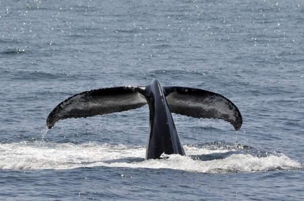 Первую партию косаток и белух из «китовой тюрьмы» в Приморье выпустили в море