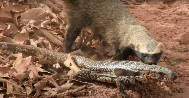 Гризон: Закос под Медоеда из Южной Америки. Шальные звери создают ОПГ и грабят фермеров