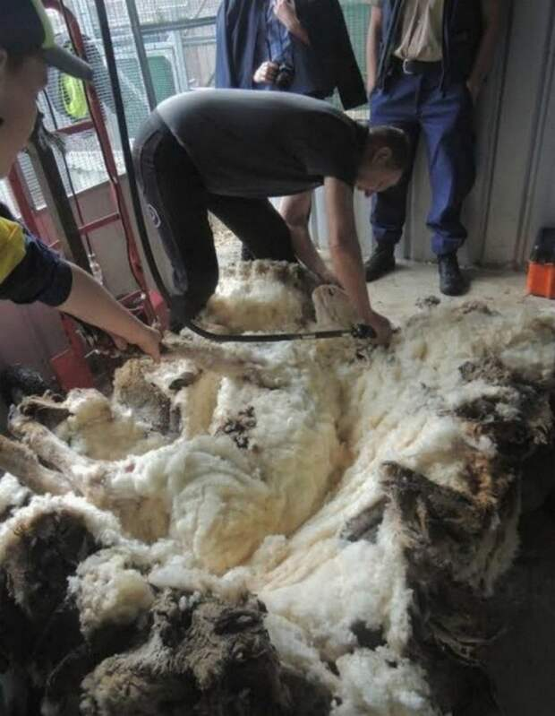 Что сделает природа с овцой-мериносом за 5 лет бродяжничества